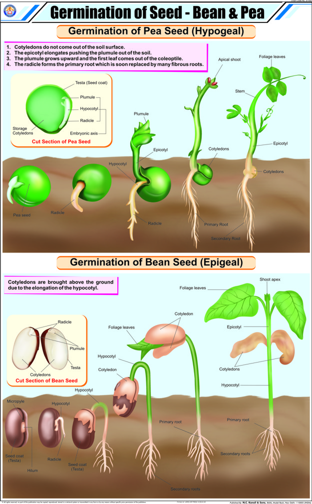 Seed Germination