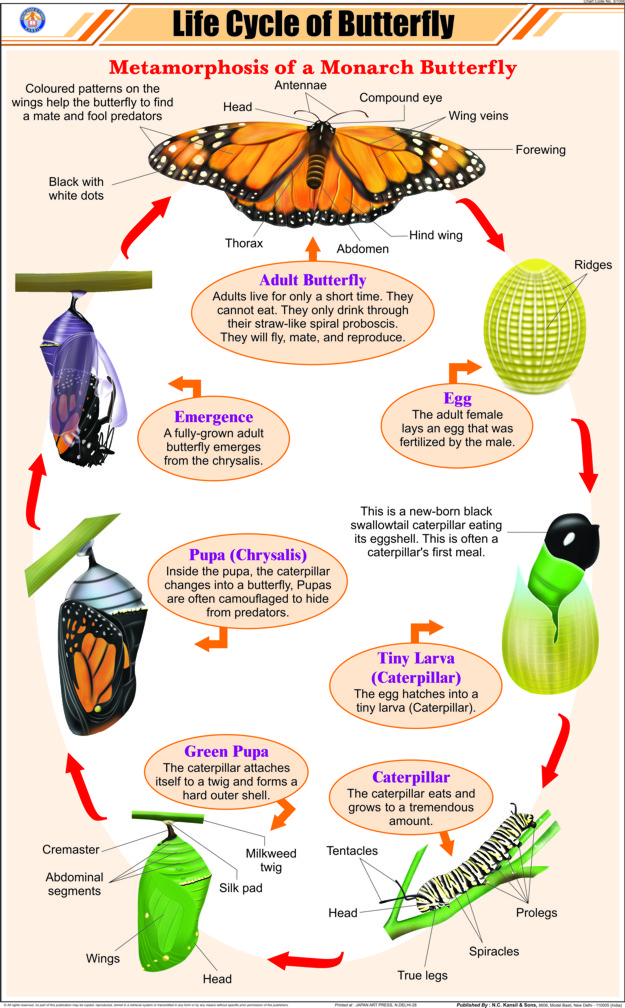 how to make 3d model of life cycle of butterfly