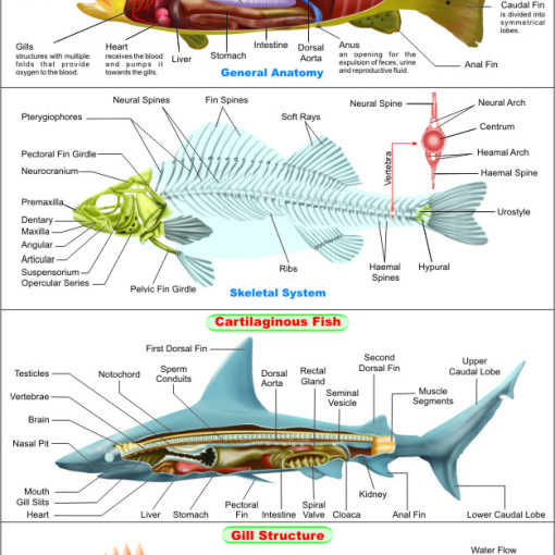 Fish Anatomy Chart Fish Anatomy Chart Manufacturer Hospital Fish